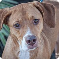 Adopt A Pet :: Muffy - Gainesville, FL