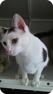 Domestic Mediumhair Cat for adoption in La Grange Park, Illinois - Emery