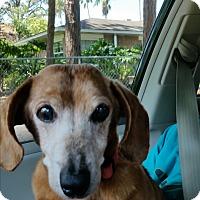 Adopt A Pet :: Fozzie - Pinellas Park, FL