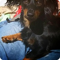 Adopt A Pet :: Sith Lord Darth Doxie - Grand Rapids, MI