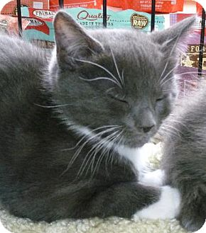 Domestic Shorthair Cat for adoption in Half Moon Bay, California - Sage (C)