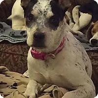 Adopt A Pet :: Mercee - Enid, OK