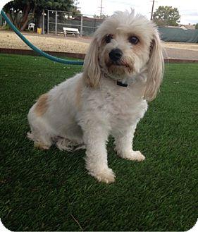 Cockapoo Dog for adoption in Temecula, California - Max