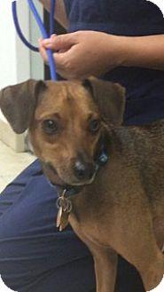 Dachshund Mix Dog for adoption in Jupiter, Florida - Bones