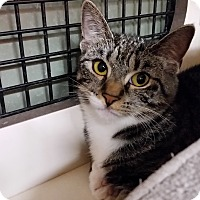 Domestic Shorthair Kitten for adoption in Little Falls, New Jersey - Nikki (CV)