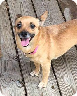 Chihuahua Mix Dog for adoption in McKinney, Texas - Aubrey