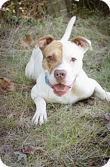 Pit Bull Terrier Mix Dog for adoption in Summerville, South Carolina - Meeko