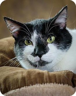 Domestic Shorthair Cat for adoption in Bloomfield, New Jersey - FROYD