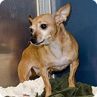 Chihuahua Mix Dog for adoption in Bellingham, Washington - Missy