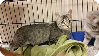 Domestic Shorthair Kitten for adoption in Cumming, Georgia - Reece