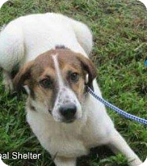 Border Collie/Hound (Unknown Type) Mix Dog for adoption in Wytheville, Virginia - Olive