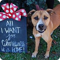 Boxer/Shepherd (Unknown Type) Mix Dog for adoption in Bishopville, South Carolina - Marvin