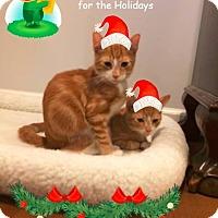 American Shorthair Kitten for adoption in Poughkeepsie, New York - Boondoggle and Ballot