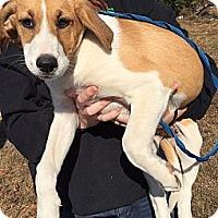 Adopt A Pet :: Percy - Harrisonburg, VA