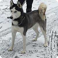Adopt A Pet :: Sammee 5 Year Old Female Husky - Rowayton, CT