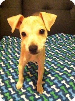 Jack Russell Terrier/Chihuahua Mix Puppy for adoption in Chicago, Illinois - CLYDE