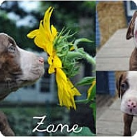 Adopt A Pet :: Zane - Sylvania, OH