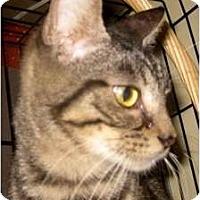 Adopt A Pet :: Lacy - Dallas, TX