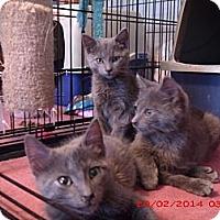 Adopt A Pet :: Gray Kittens - Acme, PA