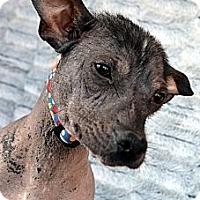 Adopt A Pet :: Xena-Adoption pending - Bridgeton, MO