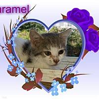 Adopt A Pet :: Caramel - Putnam, CT