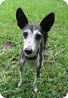 Italian Greyhound Dog for adoption in Richardson, Texas - Eddie