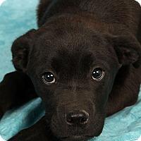 Adopt A Pet :: Carter BoxLab - St. Louis, MO