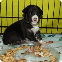 Adopt A Pet :: female aussie mix - mooresville, IN