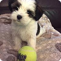 Adopt A Pet :: Bella - Norwalk, CT