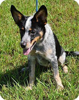 Australian Cattle Dog/Border Collie Mix Dog for adoption in Brunswick, Maine - Blue Belle