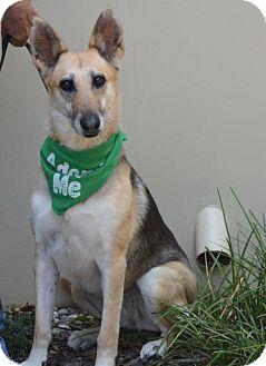 German Shepherd Dog/Greyhound Mix Dog for adoption in Portland, Oregon - Anya