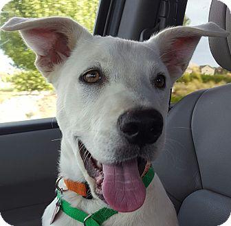 Labrador Retriever/Husky Mix Puppy for adoption in Erie, Colorado - Hickory