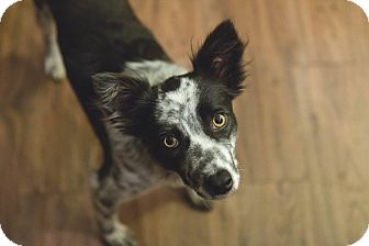 Border Collie/Australian Cattle Dog Mix Dog for adoption in Allen, Texas - Plato
