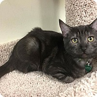 Egyptian Mau Cat for adoption in Santa Ana, California - Chickpea