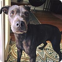 Labrador Retriever/Weimaraner Mix Dog for adoption in San Antonio, Texas - Casey