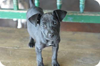 Labrador Retriever Mix Puppy for adoption in San Antonio, Texas - Piper