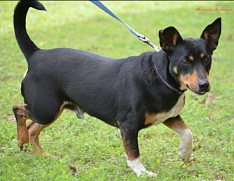 Miniature Pinscher Mix Dog for adoption in Cat Spring, Texas - Willie Min Pin