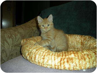 Maine Coon Kitten for adoption in Huffman, Texas - Rusty