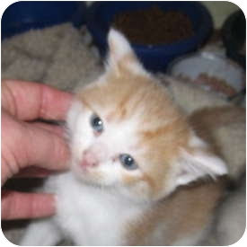 Domestic Shorthair Kitten for adoption in Richfield, Ohio - Beth's spring Litter