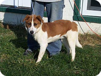 Pointer/Labrador Retriever Mix Dog for adoption in Germantown, Maryland - Tom