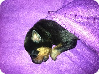 Rottweiler Puppy for adoption in Gilbert, Arizona - litter of rottie pups