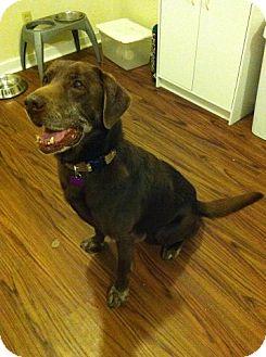 Labrador Retriever Dog for adoption in Richmond, Virginia - Rhino