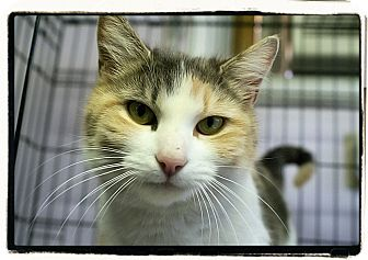 Domestic Shorthair Cat for adoption in Elmwood Park, New Jersey - Coral