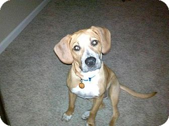 Beagle/Hound (Unknown Type) Mix Dog for adoption in Garden City, Michigan - Nellie
