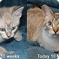 Adopt A Pet :: Orsolo - Davis, CA