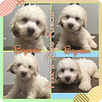 Adopt A Pet :: Bryson - South Gate, CA