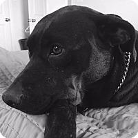 Adopt A Pet :: Abby - Houston, TX