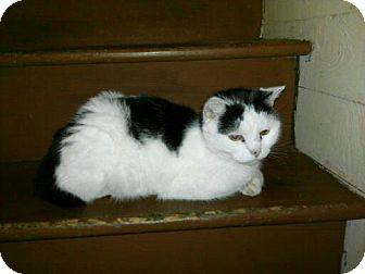 American Shorthair Cat for adoption in Colbert, Georgia - Sammy