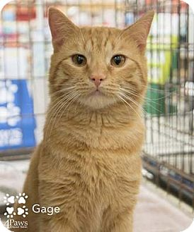 Domestic Shorthair Cat for adoption in Merrifield, Virginia - Gage