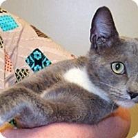 Domestic Shorthair Cat for adoption in Wildomar, California - Samantha